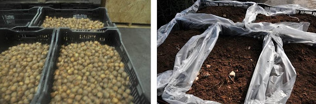 storing and planting iris bulbs