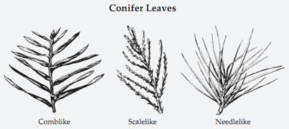 Conifer leaves