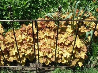 Caramel heuchera behind metal barrier at Paul Kane House gardens by garden muses: a Toronto gardening blog