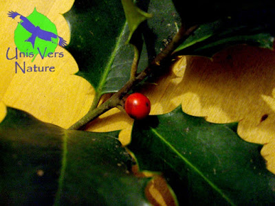 Fruit Houx - Ilex aquifolium - stages plantes sauvages comestibles