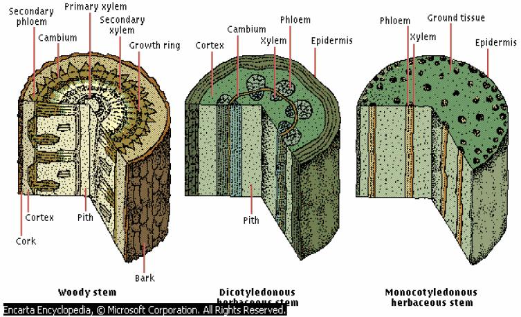Struktur dan Fungsi Jaringan Tumbuhan Terdapat Pada Akar ...