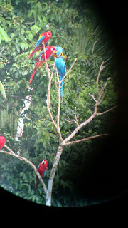 blue + gold macaw with scarlett macaws in trees