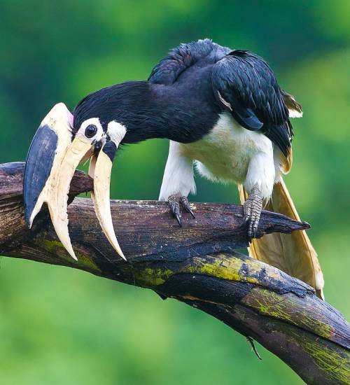 Birds of India - Image of Malabar pied hornbill - Anthracoceros coronatus