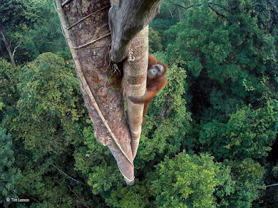 BBC Wildlife, fotográfia, Máté Bence, természetfotó, Wildlife Photographer of the Year, Tim Laman, Entwined Lives,