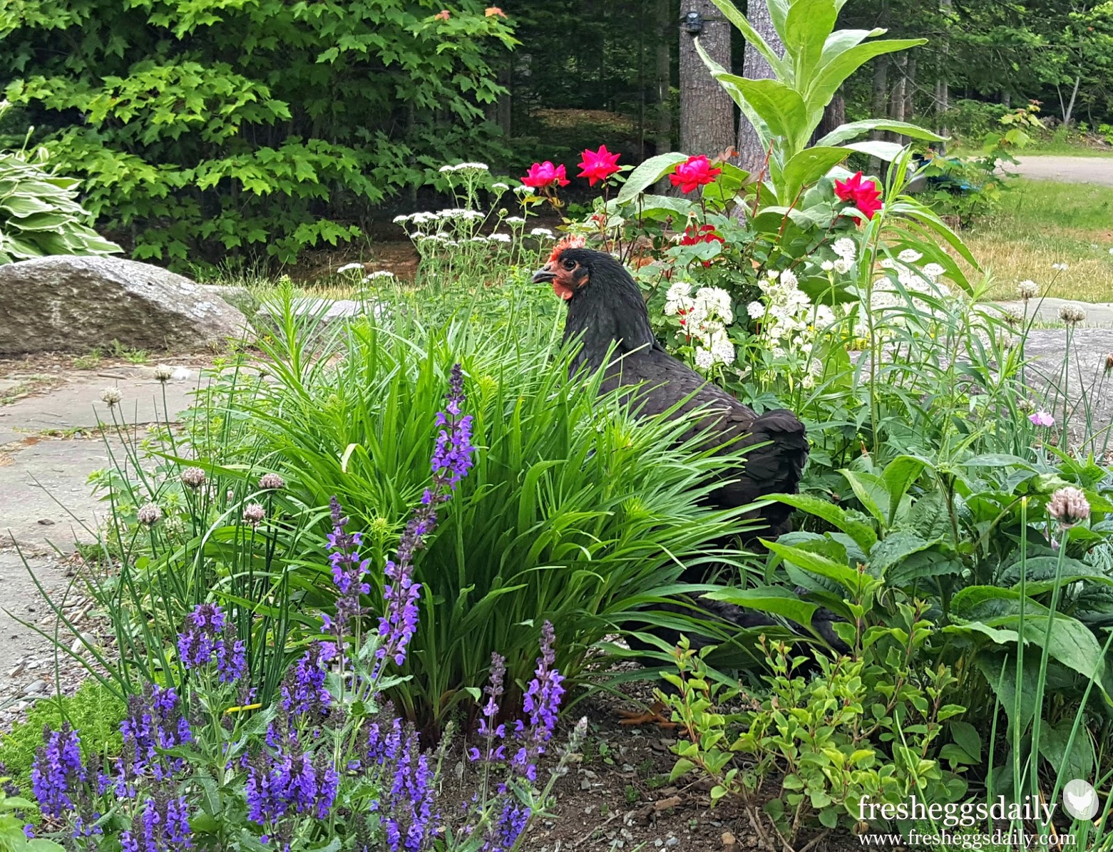 chicken friendly backyard landscaping fresh eggs daily
