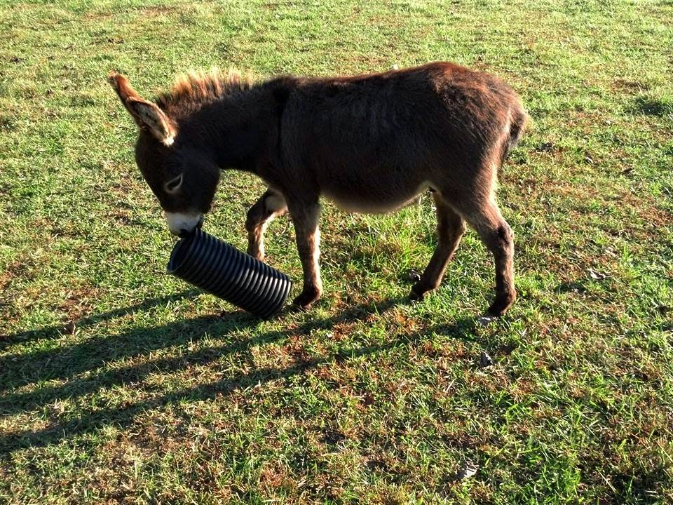 miniature donkey with drain pipe in his mouth