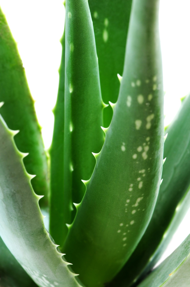 Aloe Vera Plant Care The Ultimate Guide For How To Grow