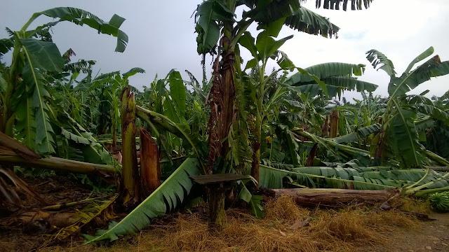 O Vento jogou muita Banana no Bairro Bananal Pequeno em Eldorado-SP