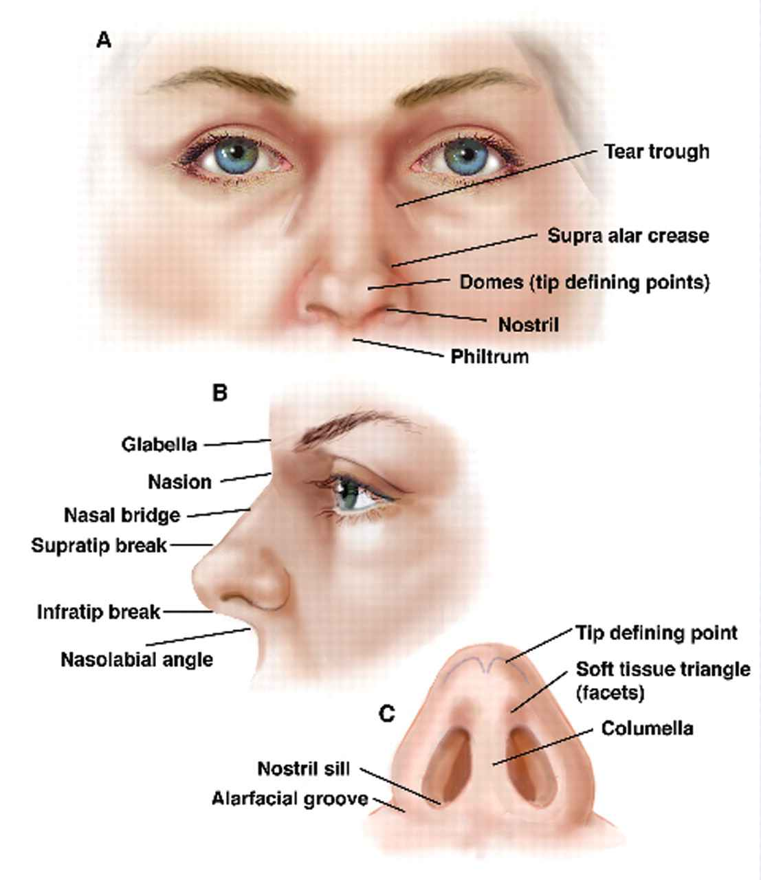 Human Anatomy Nose Diagram
