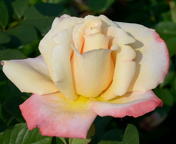 Laetitia Casta сорт розы фото Мейян