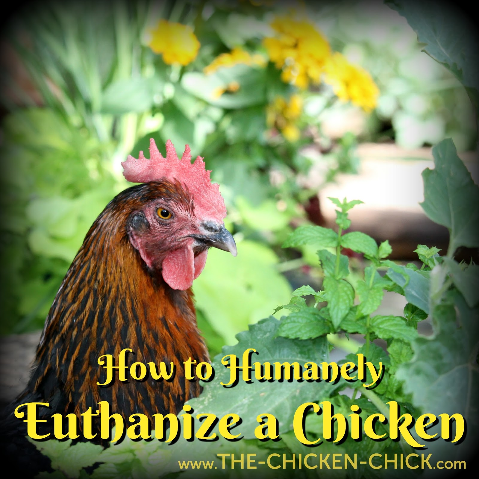 the chicken how to humanely euthanize a chicken by dr