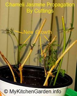 Propagation of Chameli, Rooted Spanish Jasmine from cuttings