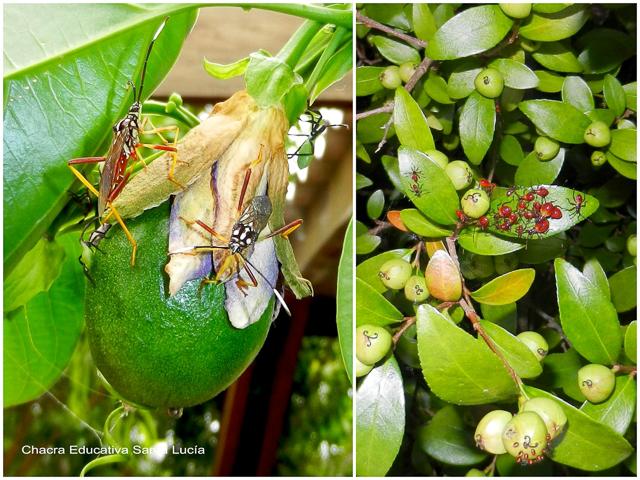 Buscando entre las plantas se encuentra todo tipo de insectos - Chacra Educativa Santa Lucía