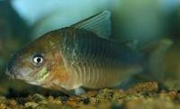 Jenis Ikan Corydoras pantanalensis