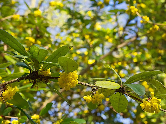 Looking up into the canopy of berberis bush lots of yellow flowers among green leaves