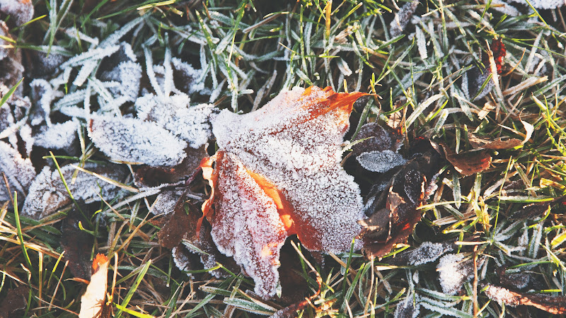 Leaf covered by rime