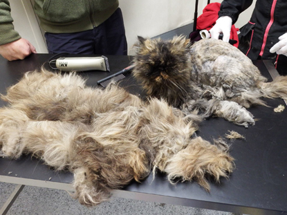 Matted hair can swamp a cat if not groomed