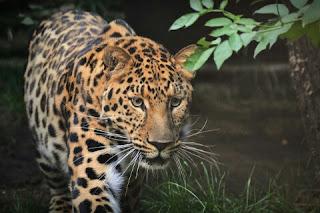 Macan Tutul Jawa Hewan Langka Di Indonesia dan Penjelasannya