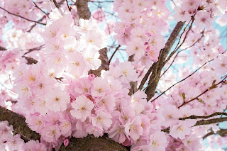 spring is the season most adorned with blooming flowers Hunting for Flowers that Bloom in Spring in Japan