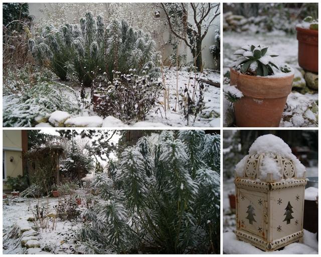 Palisadenwolfsmilch im Dezember mit Schnee