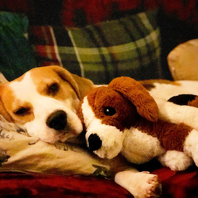 Holly Bobbins the beagle, achieving balance in my life, mandy charlton, photographer, writer, blogger