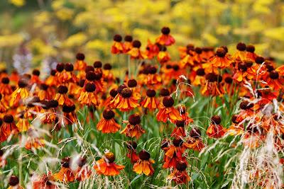 Echinacea, Herbal Plant, Herbal, echinacea benefits, echinacea health benefits, echinacea nutrition, echinacea uses, echinacea tea, echinacea plant,