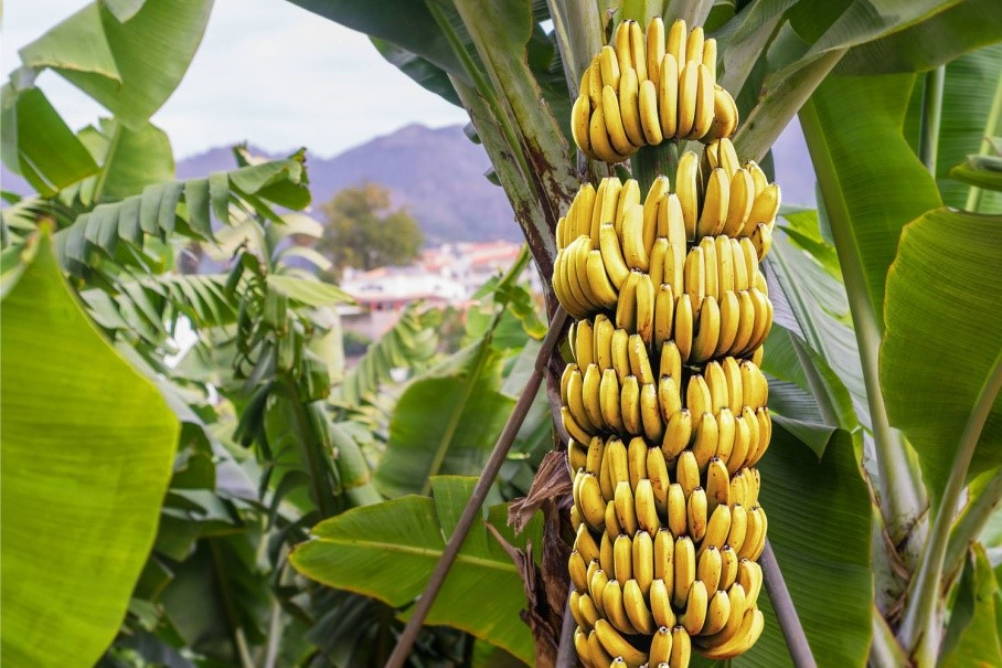 This Button Consists Of Hundreds Of Flowers And Each Flower Becomes A Banana Bananas Grow In Bunches Of About  Kilos