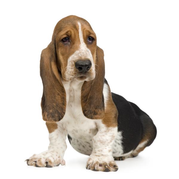Lil' Dog Whisperer: Basset Hound