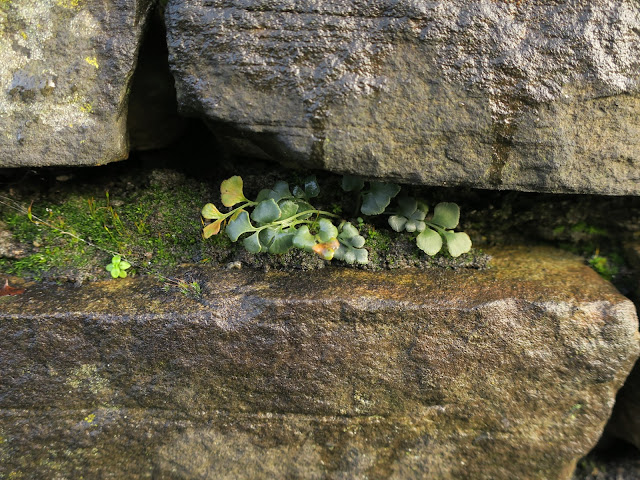 Plant growing in shelter of stones of a wall in West Yorkshire.