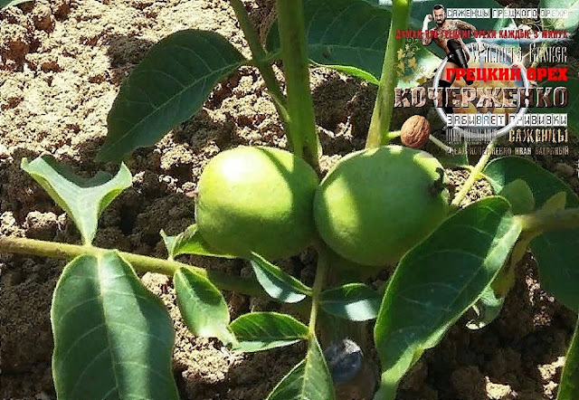 Грецкий орех Кочерженко плодоносит на 1 год