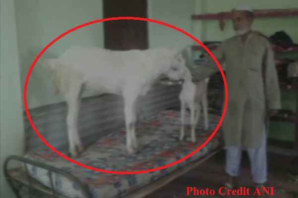 bakra-eid-al-adha-tomorrow-muslim-ready-to-sacrifice-goat-and-eat