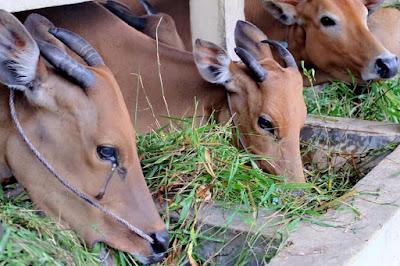 Hormon pada ternak sapi