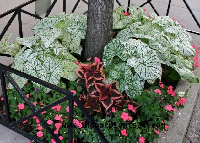 CALADIUM X HORTULANUM plant image