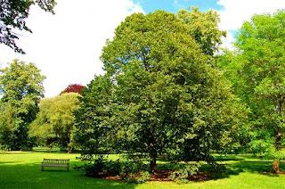 Tilo,Tiliaplatyphyllos, conocido como Tila, es un árbol caducifolio de la familia Malváceas