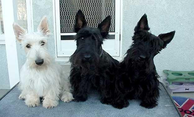 Breeds Scottish Terrier Dog