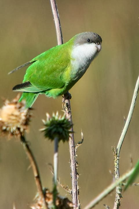 Gray hooded Parakeet