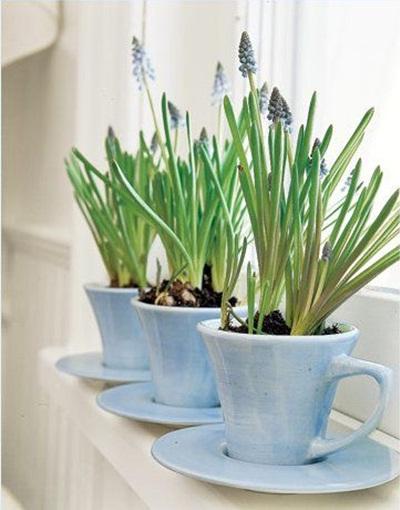 Bunga blue bells ini tampak cantik ditanam dalam cangkir teh biru.