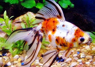 Gambar Ikan Mas Koki Calico