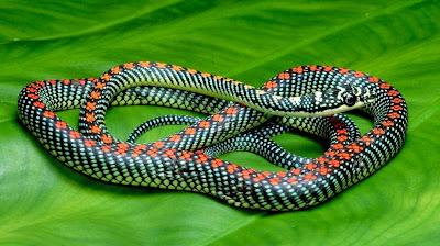 cobra, cobras voadoras, serpentes, serpente, veneno de cobra, picada de cobra, animais que voam, réptil, répteis, repteis, snake, flying snake, snake venom, Chrysopelea, paradisi, Chrysopelea paradisi, ataque de cobra