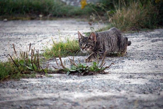 Kissanpentu vaanii saalista aluskasvillisuuden kätköissä