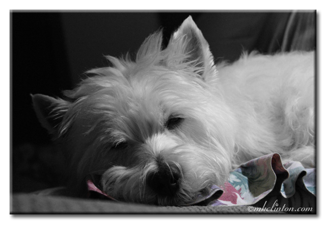 Westie sleeping B&W photo