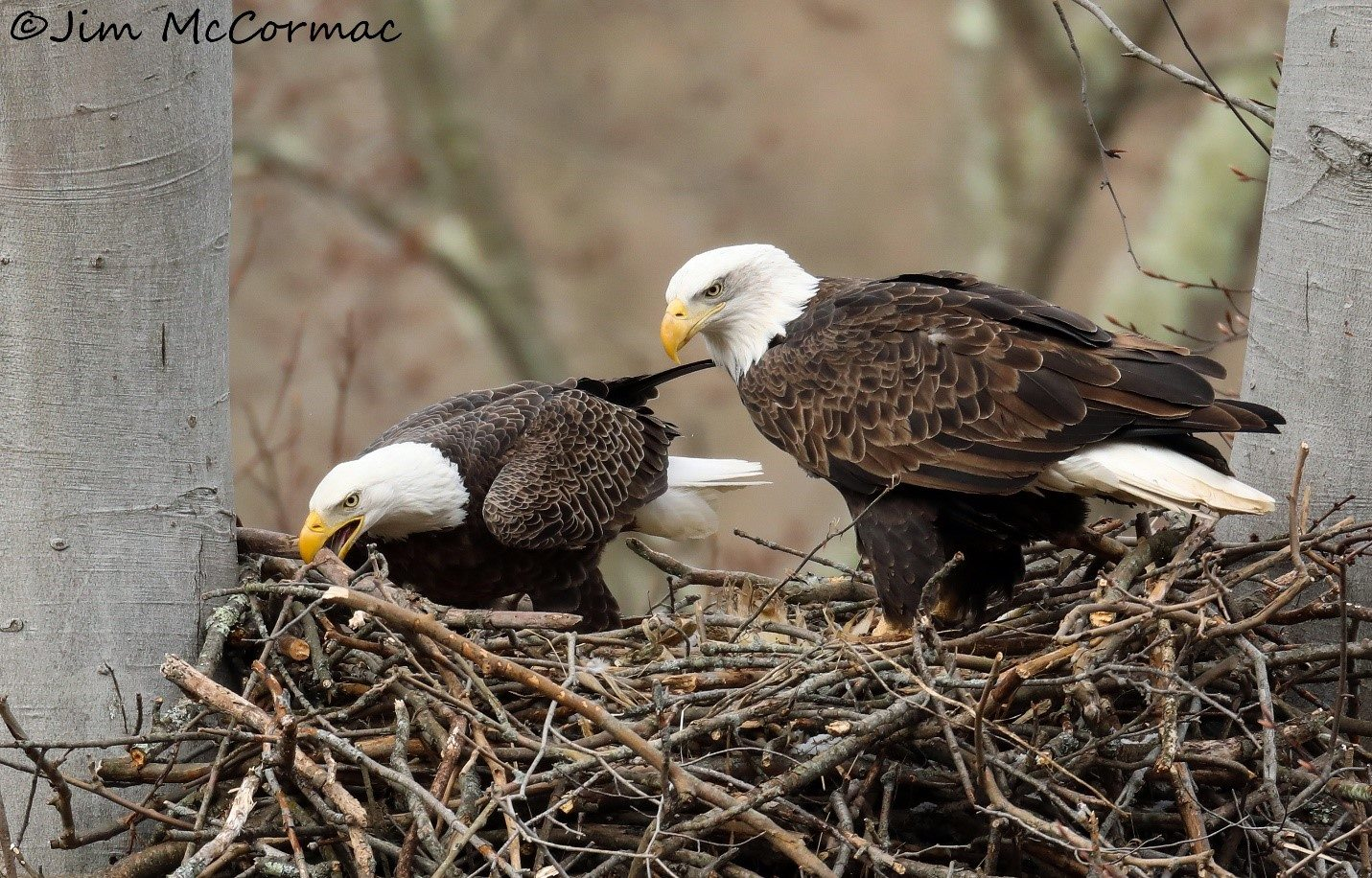 Bald eagles prove healthy environment is essential biocorpaavc