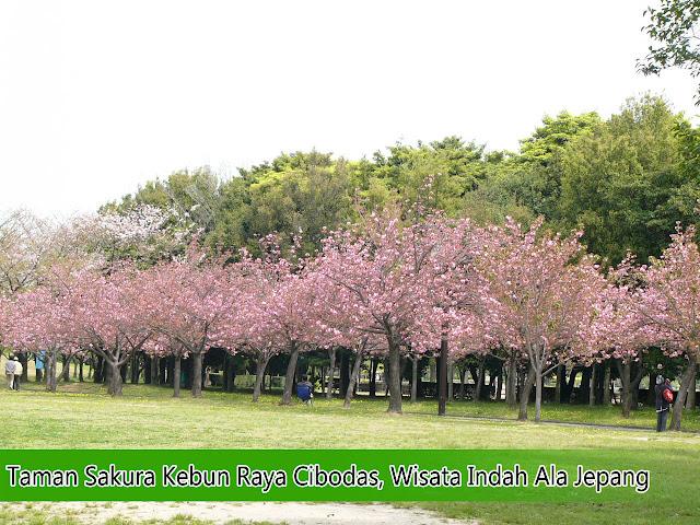 Taman Sakura Kebun Raya Cibodas, Wisata Indah Ala Jepang