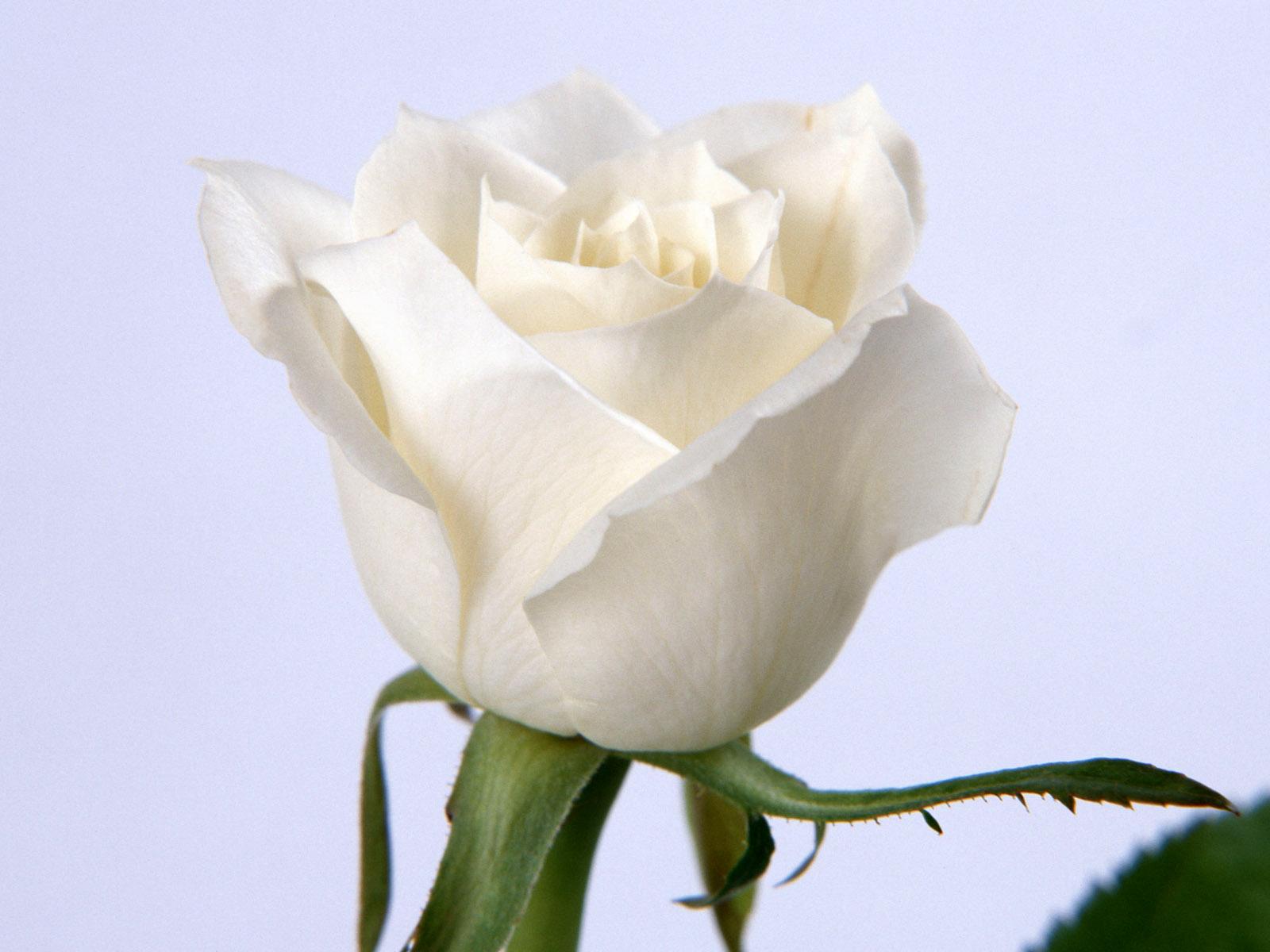 Yellow Wallpaper: White Roses