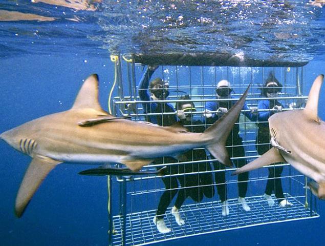 tempat menyelam bersama hiu, wisata menyelam bersama hiu ganas