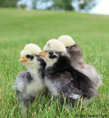 Giving newly hatched chicks probiotics  helps keep them from developing and passing on diseases later in life, including Salmonella Enteritis.