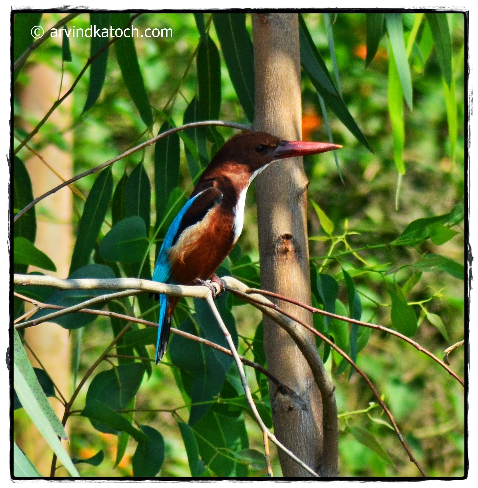 White Thraoted Kingfisher