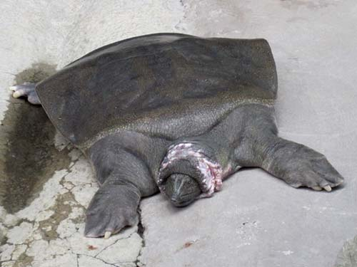 Nile Softshell Turtle