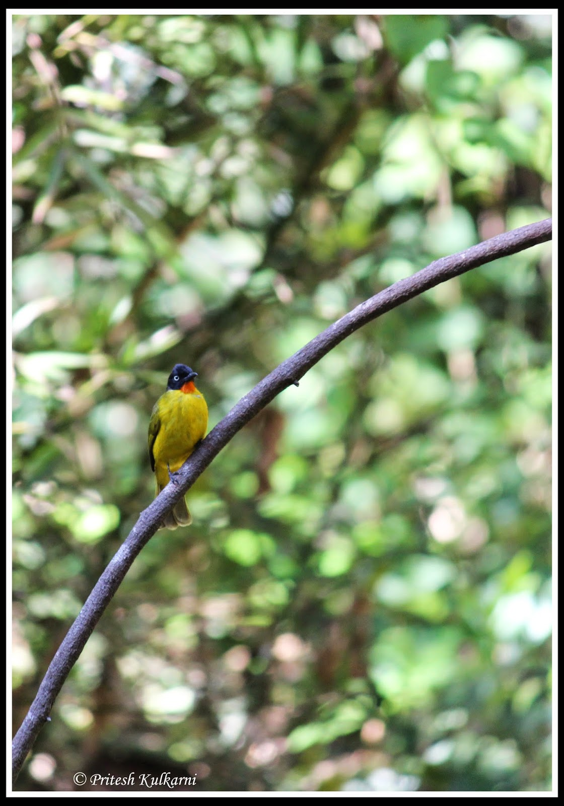 Flame throated Bulbul at Old Magazine House