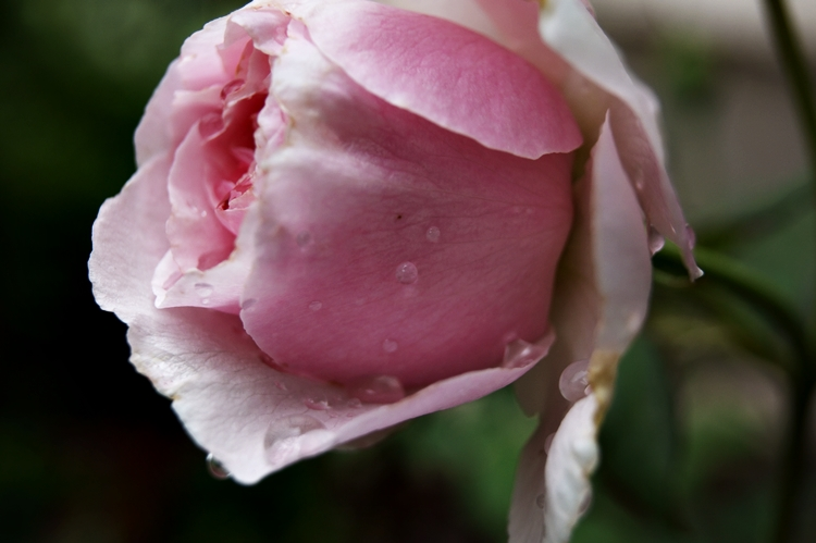 Blog & Fotografie by it's me! - Makroaufnahmen - Makro einer rosafarbenen Rose mit Regentropfen [5]